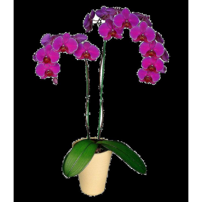 Орхидея Амолд Фаленопсис