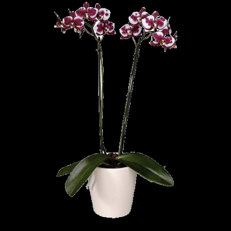 Орхидея PolkaDot Фаленопсис