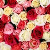 Розы (101)