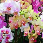 Орхидеи (22)
