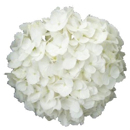 Белые
