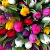 Тюльпаны (27)