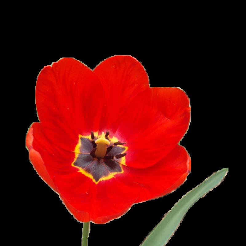 Тюльпан обычный